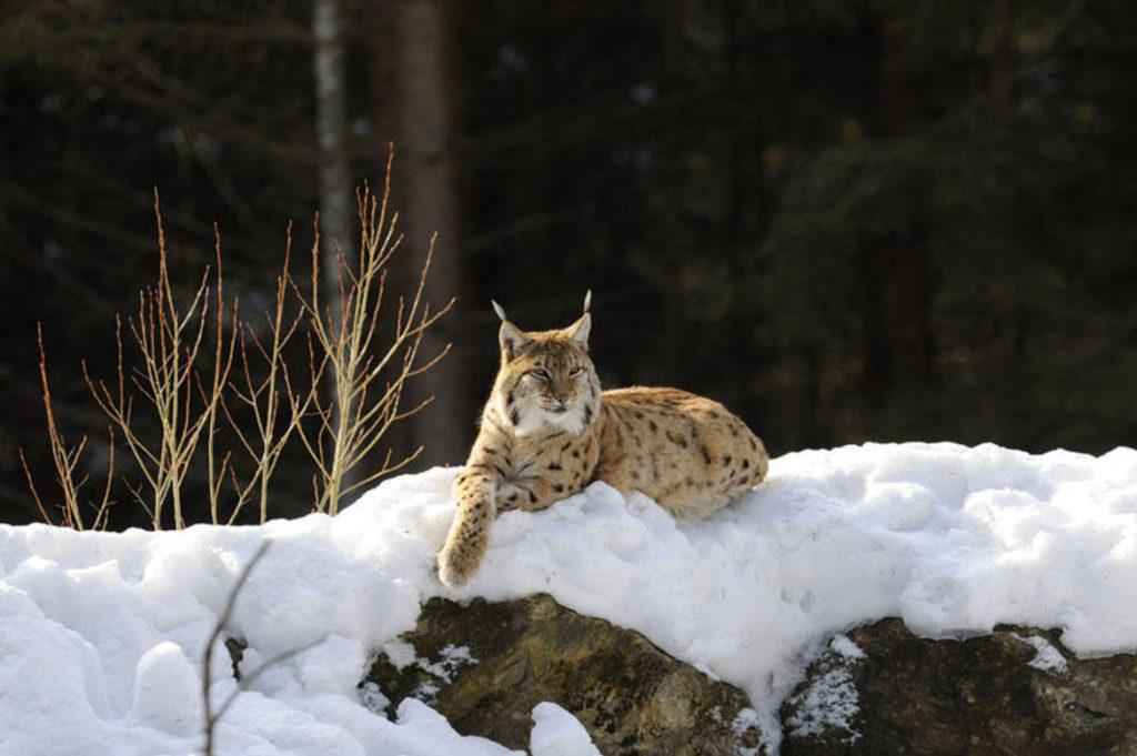 linceC. FrapportiArchivio Servizio Foreste e fauna Pat