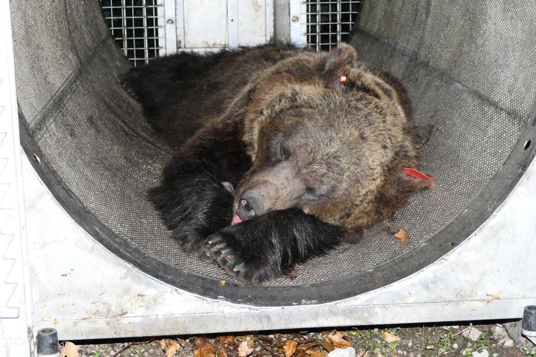 orsa catturata monte peller