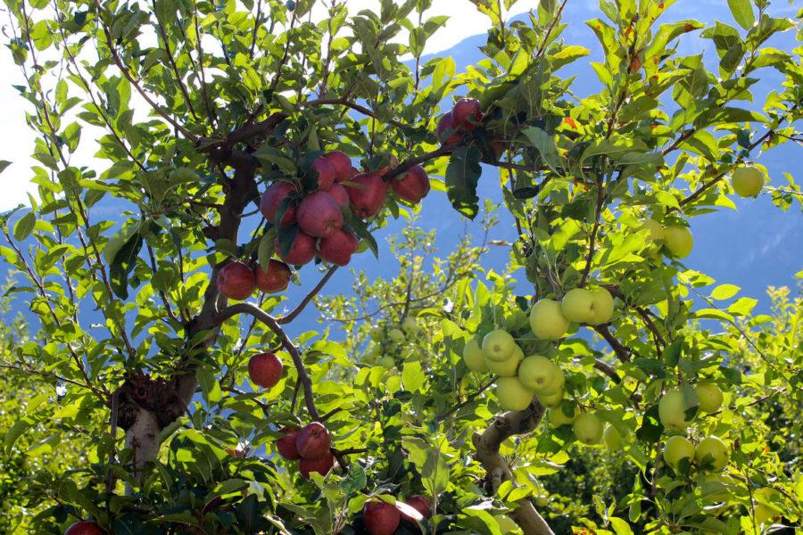 agricoltura-mele-meli-e1596605311454.jpg