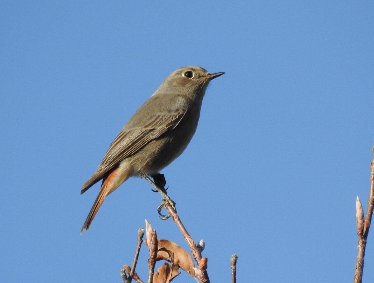 anellamento muse uccelli ledro codirosso spazzacamino, specie di passo tardiva PP MUSE