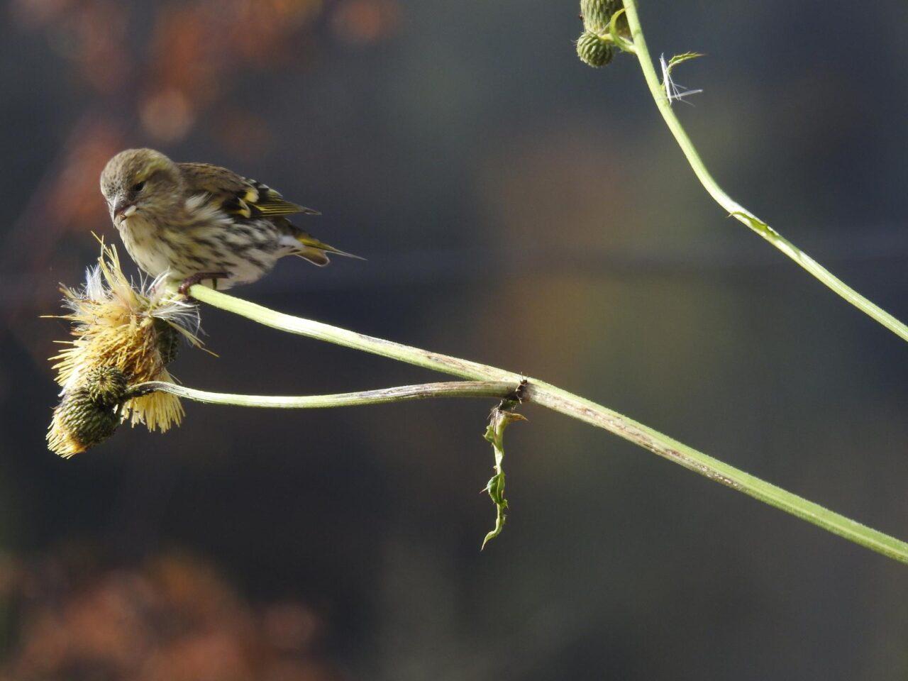 anellamento uccelli ledro muse lucherino femmina PP MUSE
