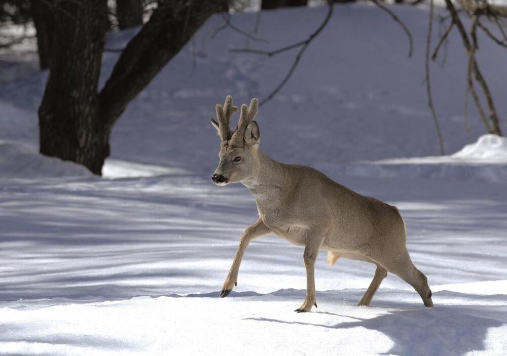 capriolo-neve-inverno-e1610692611623.jpg