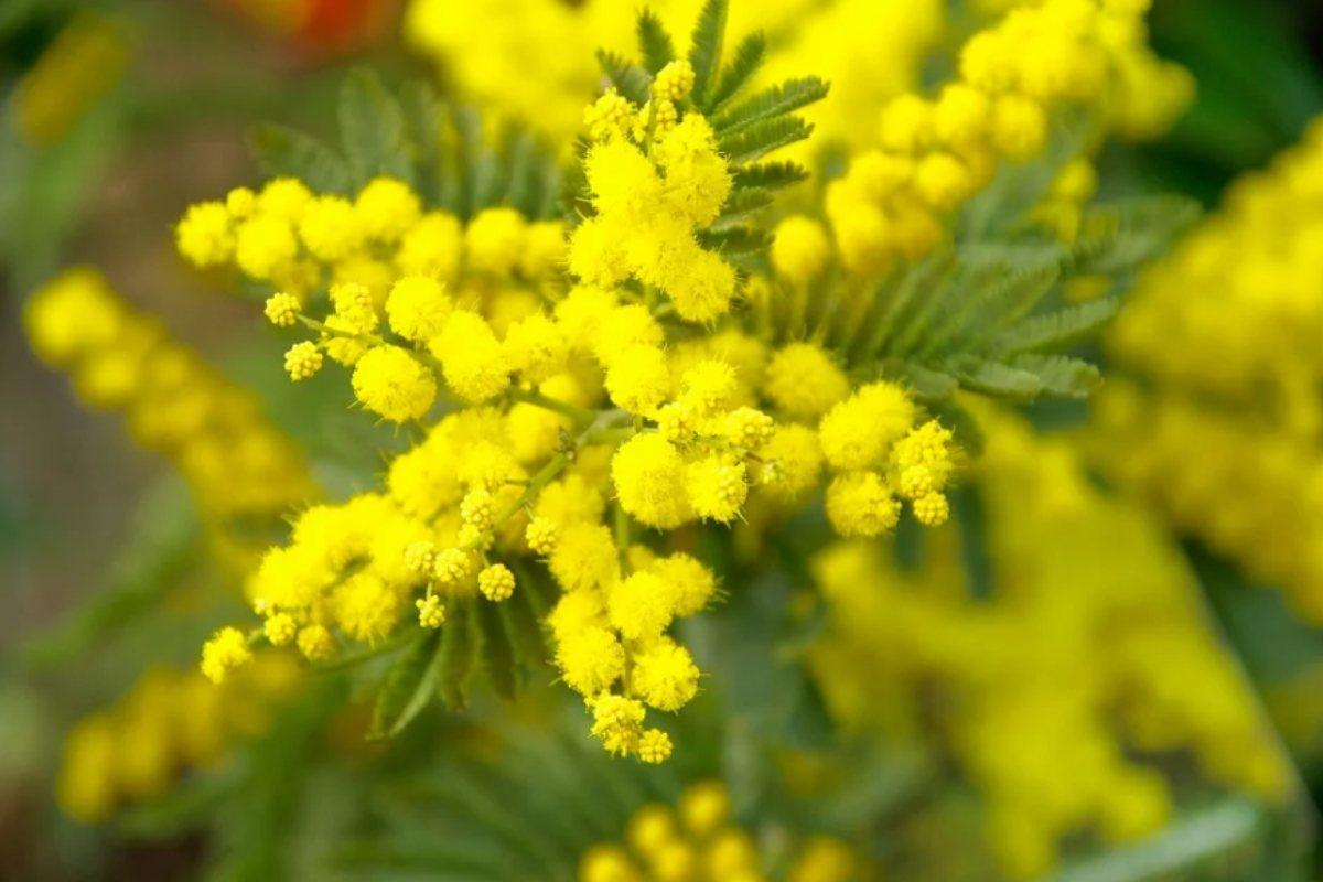 mimosa_donna_2020_pixabay.jpg