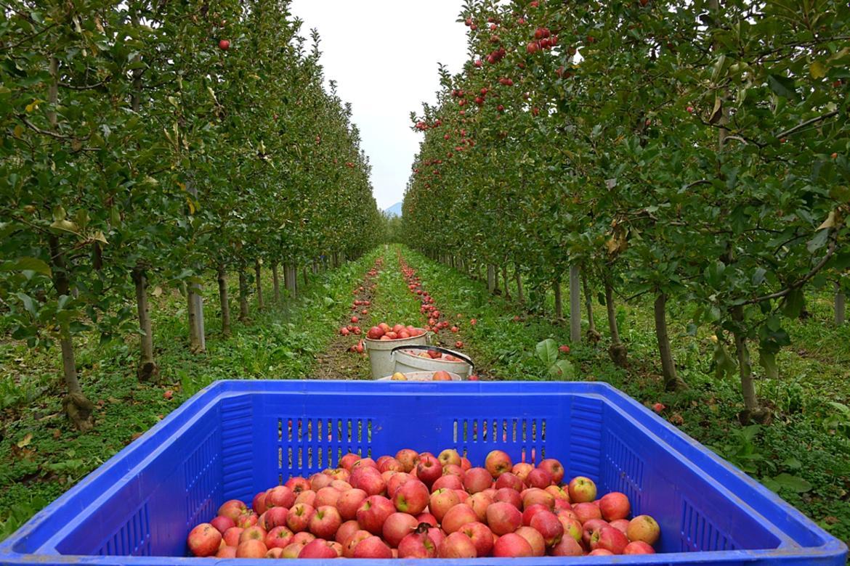 raccolta-mele-agricoltura-campagna.jpg